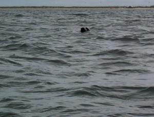 Een nieuwsgierige zeehond kijkt onze richting op